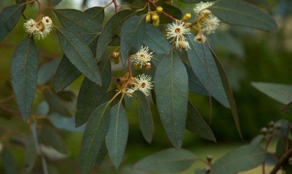 Ветка эвкалипта с листьями и плодами