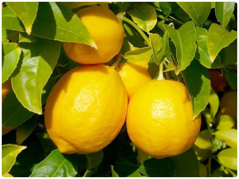 Полезные свойства лимона и лука против перхоти