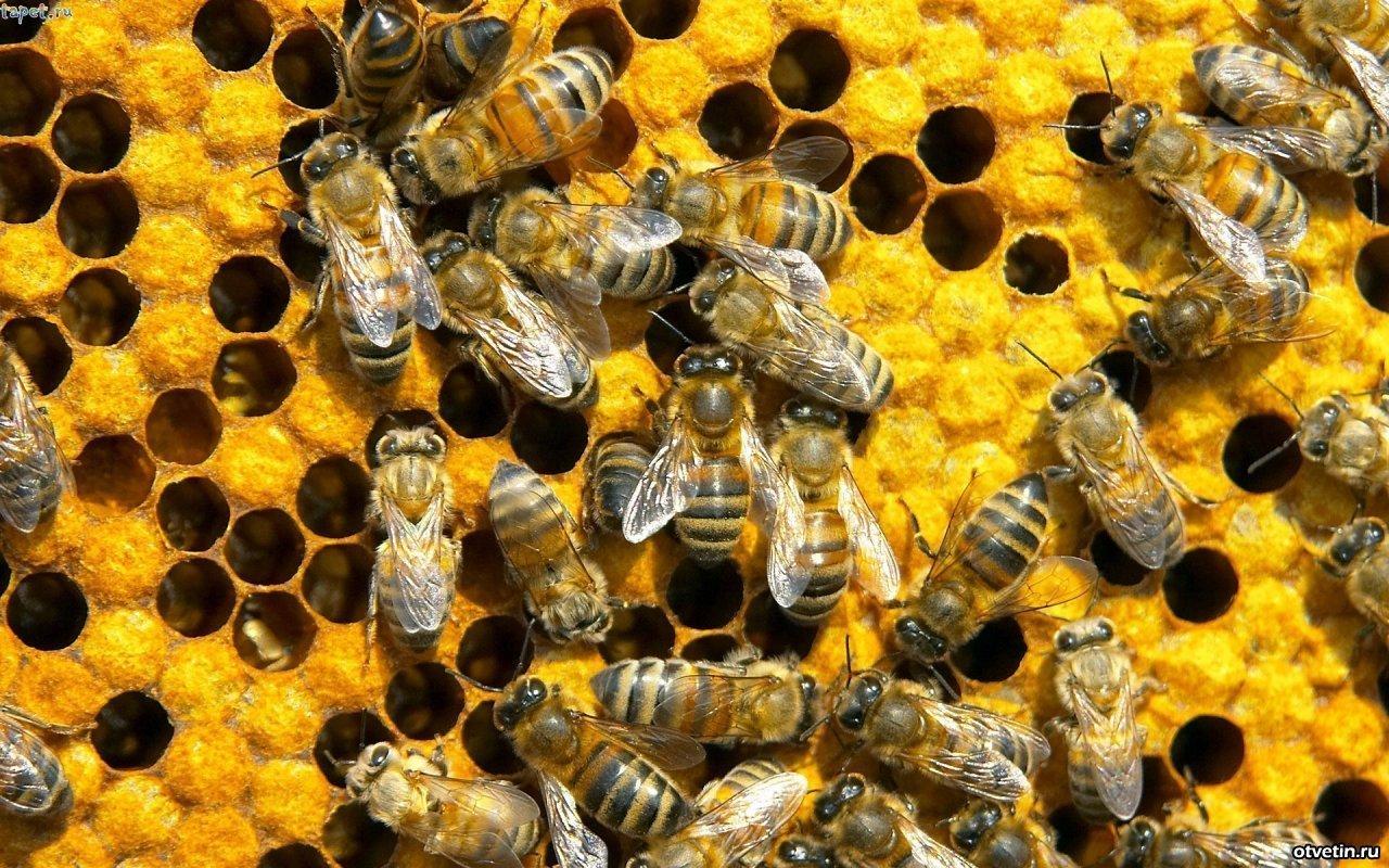 Пчелиный подмор – современная панацея для больных суставов
