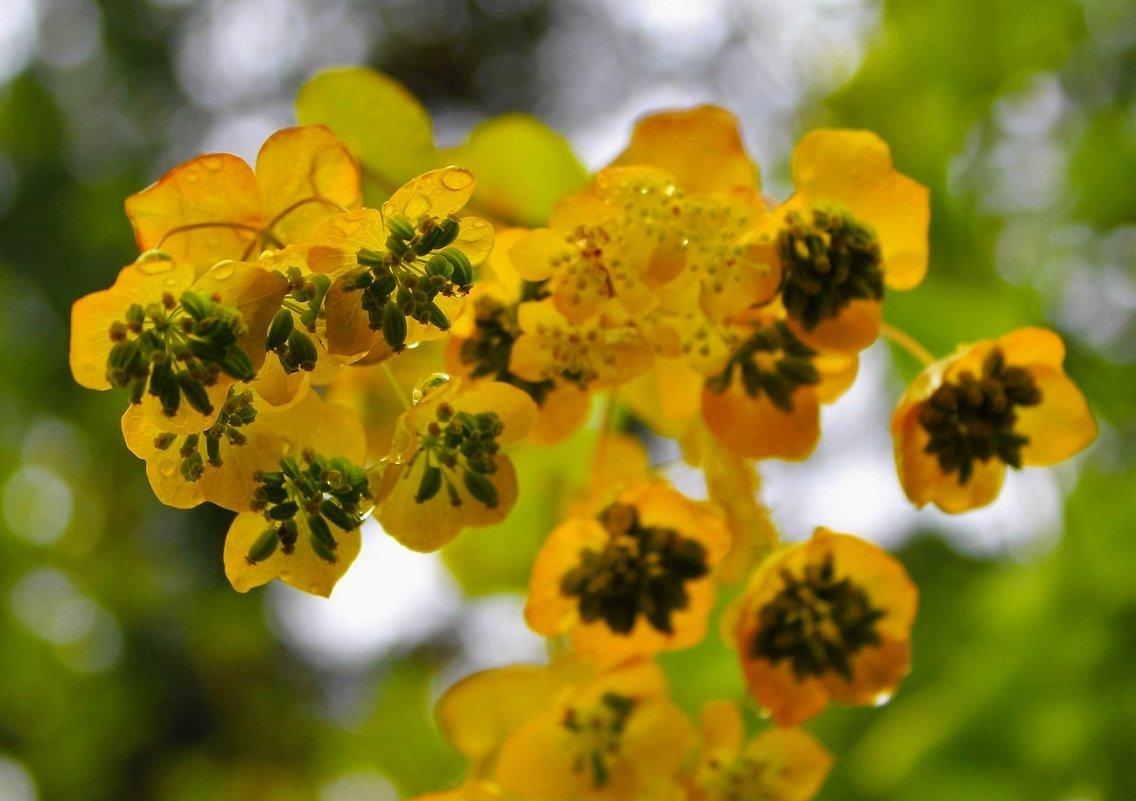 Володушка — цветок жизни: лечебные свойства, применение и противопоказания