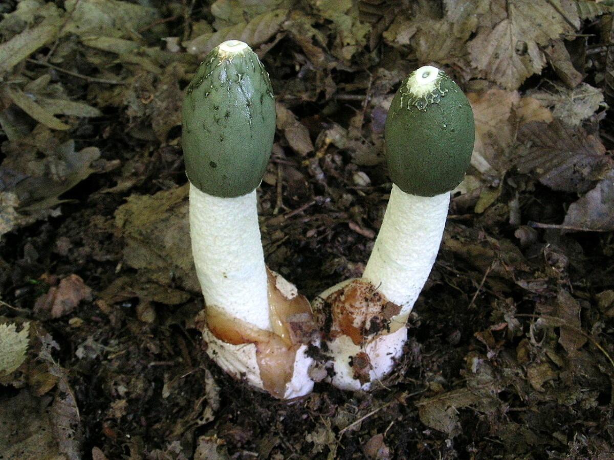 Чудо-гриб весёлка: лекарство от всех болезней