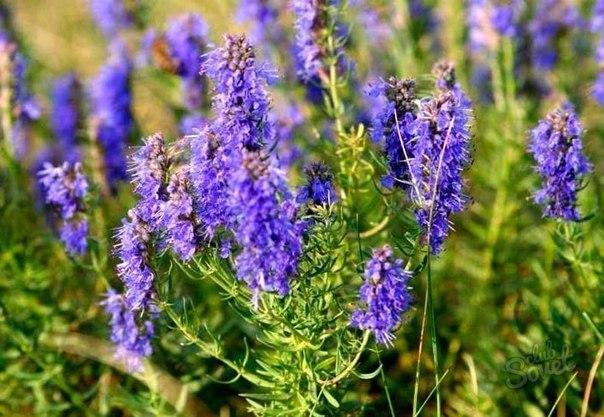 Иссоп – народные названия: синий зверобой, лесной иссоп, пчелиная трава, пахучий иссоп